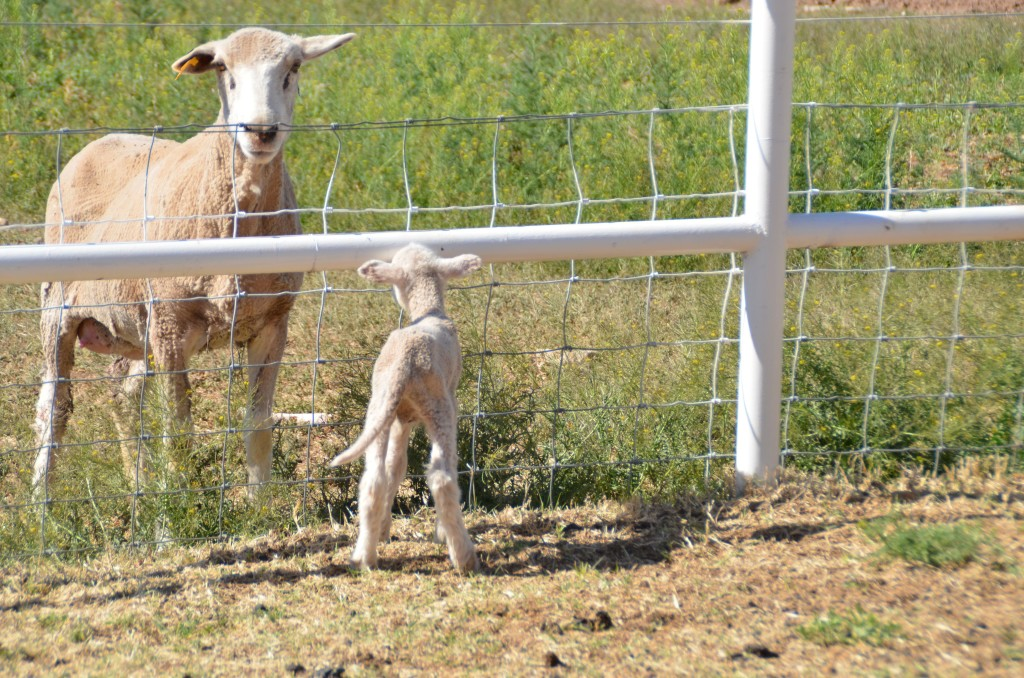 One of the triplets got left behind and couldn't figure out how to get to the other side of the fence