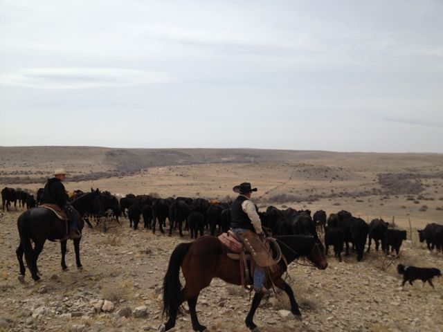 Driving the cattle